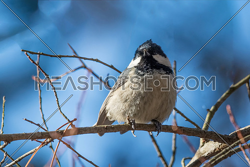 Coal tit sitting on a dead branch. Selective focus