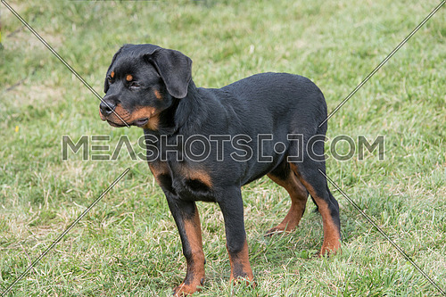 Rottweiler on the grass. Selective focus on the dog