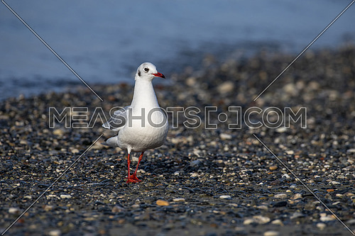 Black-headed gull - Chroicocephalus ridibundus on a beach