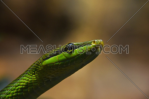 Close up Gonyosoma oxycephalum, known commonly as the arboreal ratsnake, the red tailed green ratsnake in tree leaves, low angle, side view