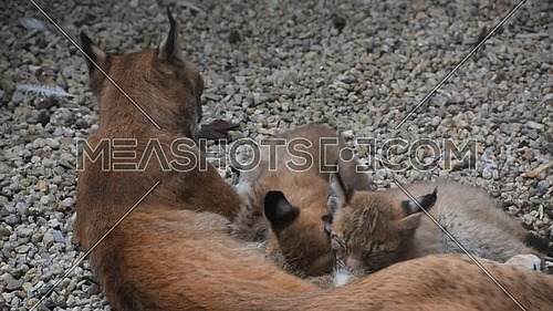 Mother Eurasian lynx nursing breastfeeding two young baby kittens, close up, high angle view