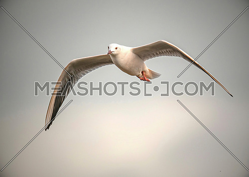 Close up of Slender-billed Gull (Chroicocephalus genei) in flight