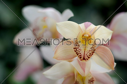 a close up on an orchid or an iris flower showing the blossomed flower in a gardern