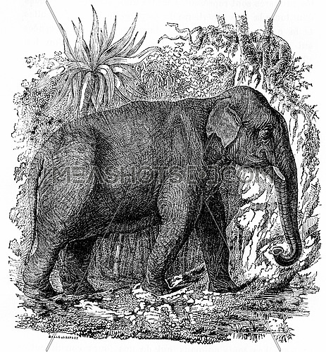 Elephant in India, vintage engraved illustration. Natural History of Animals, 1880.
