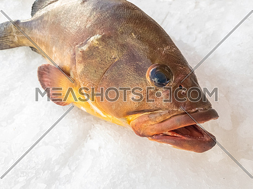 The Atlantic wreckfish, (Polyprion americanus), also known as the stone bass or bass groper in a fish market on ice,close up.