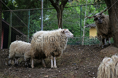 Free funny sheep look like posing for a photo shoot in a Polish park in Istanbul (Turkey)