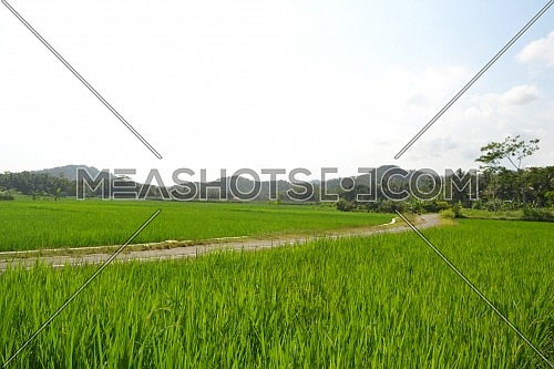 Beautiful Landscape Rice Field With The Path Through The Rice Fields With Mountains and Bright Sky Background During The Day