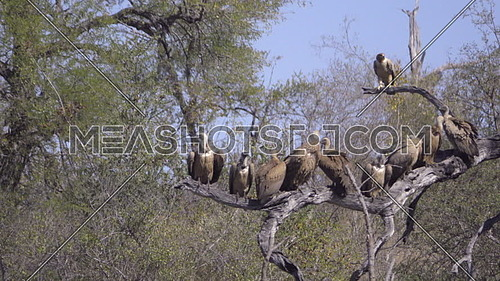 Scene of a Tawny Eagle and commitee of vultures