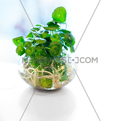 hydroculture plant on glass bowl backlit by a window