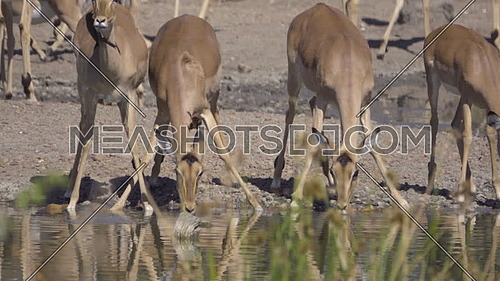 Scene of a small group of Impala drinking nervously