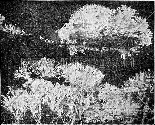 Merulius mycelium spreads like a fan, the attack has wood surface, vintage engraved illustration.