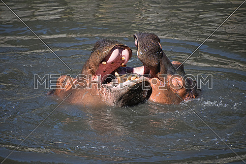 Close up couple of hippos swim and play in water, high angle view