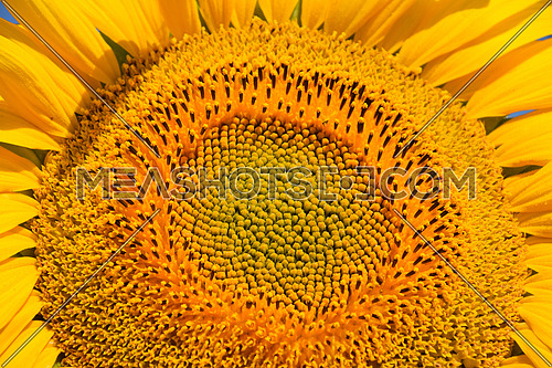 Young yellow sunflower close up