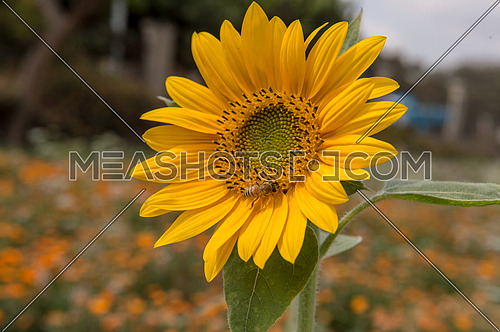 Sunflower at the beginning of spring