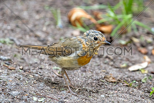 Close up photo of European robin (Erithacus rubecula)
