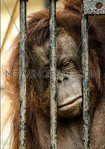 a Sad Gorilla locked in a cage