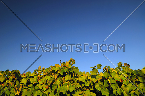 vineyard horizontal background