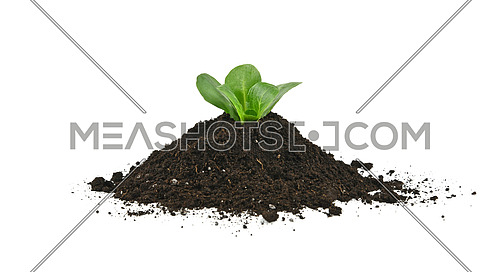 Close up one green spring plant sprout growing from heap of black humus soil isolated over white background, low angle side view