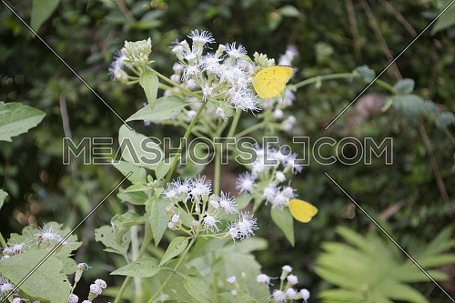 Yellow Butterflies Perched on Top of Small White Flowers Against a Background of Green Foliage Park