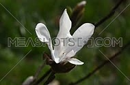 One white magnolia flower tremble in the wind over background of green, high angle, close up, Full HD 1080