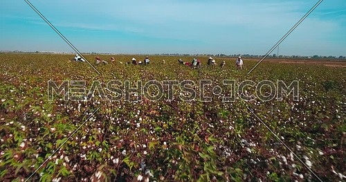 Aerial shot for farmers while harvesting Cotton in Kafr elsheikh  at day