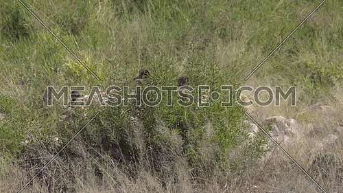 Scene of two Wild Dogs prowling for prey