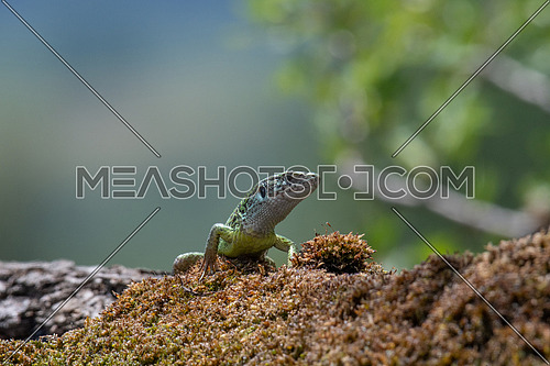 European green lizard (Lacerta viridis )in natural habitat, green lizard sunbathing.