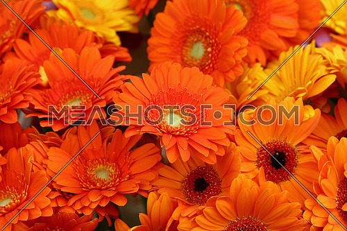 Close up bouquettes of fresh orange color gerber daisy flowers with on retail display, high angle view