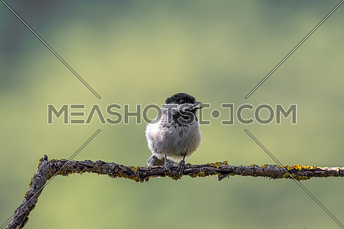 Sombre tit (Poecile lugubris) is a passerine bird in the tit family Paridae