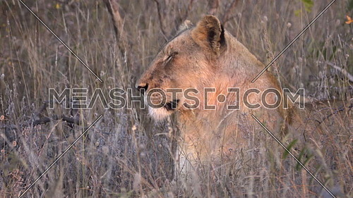 View of Lion turning to look at the camera