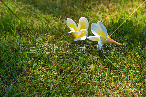 a close up for a white flower (jasmine) on a the grass in a garden