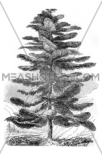 Araucaria excelsa or Pine Island Norfolk, vintage engraved illustration. Magasin Pittoresque 1844.