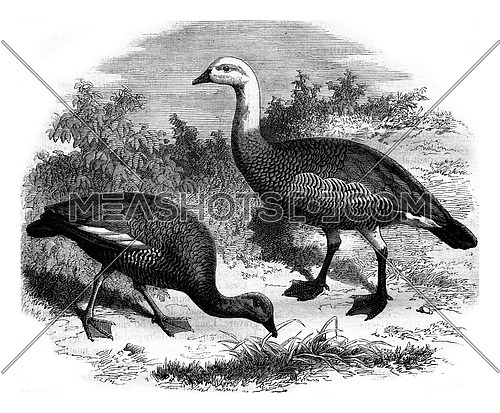 Garden of acclimatization. Goose of Magellan, vintage engraved illustration. Magasin Pittoresque 1880.