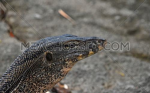 Asian giant water monitor goanna varan head close up portrait looking from the corner
