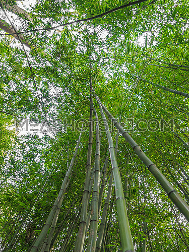 Towering green bamboo shoots in a garden with lush green leaves