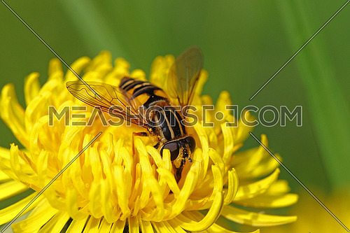Fly going through a yellow dandelion flower covered in pollen