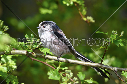 Long tailed Tit - Aegithalos caudatus sitting on the branch.Wildlife photo