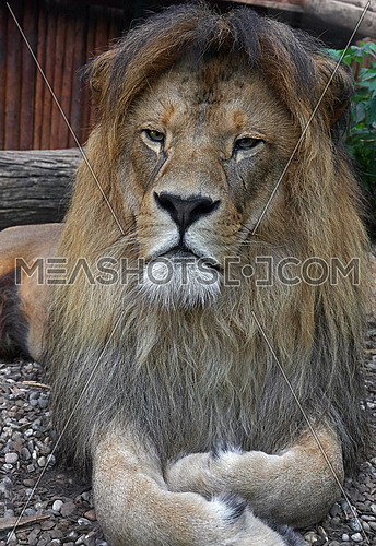 Close up portrait of cute male African lion with beautiful mane, laying resting on the ground and looking at camera, low angle view