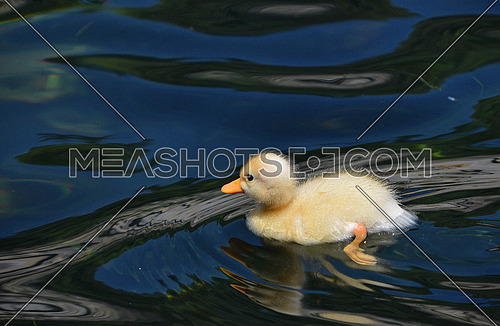 Close up one cute little yellow baby duckling in blue water, high angle side view