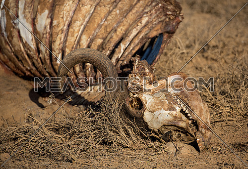 Skelton showing teeth of a Cape Buffalo that was caught and eaten by Lions