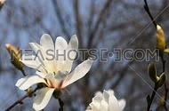 One white magnolia flower tremble in the wind over background of blue sky, tree branches and twigs, flowers and buds, close up, Full HD 1080