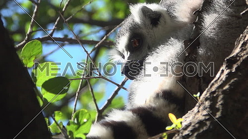 View of ring tailed Lemur glancing around