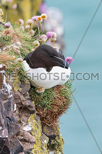 Portrait of Razorbill (Alca torda)in nature