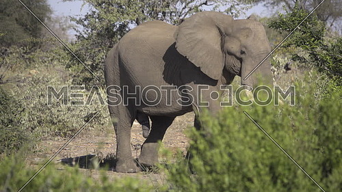 View of a mature bull elephant walking near waterhole