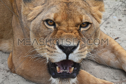 Close up portrait of beautiful mature female African lioness, angry teething, roaring and looking at camera, high angle view