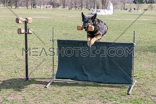 German Shepherd on agility competition, over the bar jump. Proud dog jumping over obstacle. Selective focus on the dog