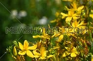 Yellow flowers of chelidonium majus, celandine greater, kilwort flowers in the wind over background of green, close up, focusing in and out