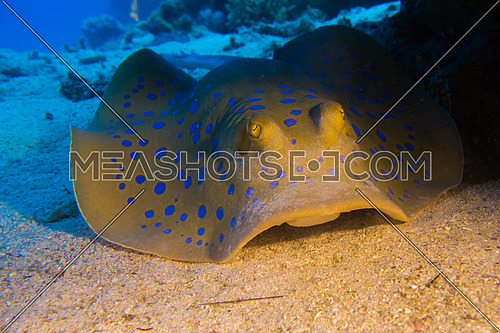 blue spotted ray on sea bed