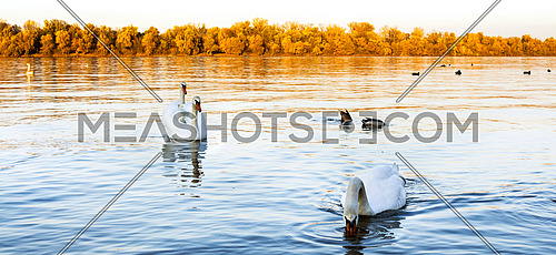 Swans at the river Danube