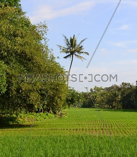 Rice field views during the day with small rice plants next to dense bamboo trees and coconut trees in the middle with light blue sky